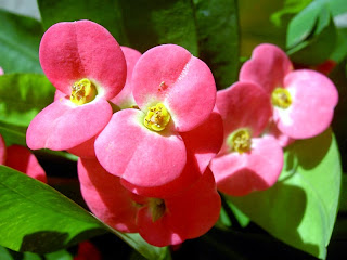 Khasiat Bunga Pakis Giwang untuk Kesehatan