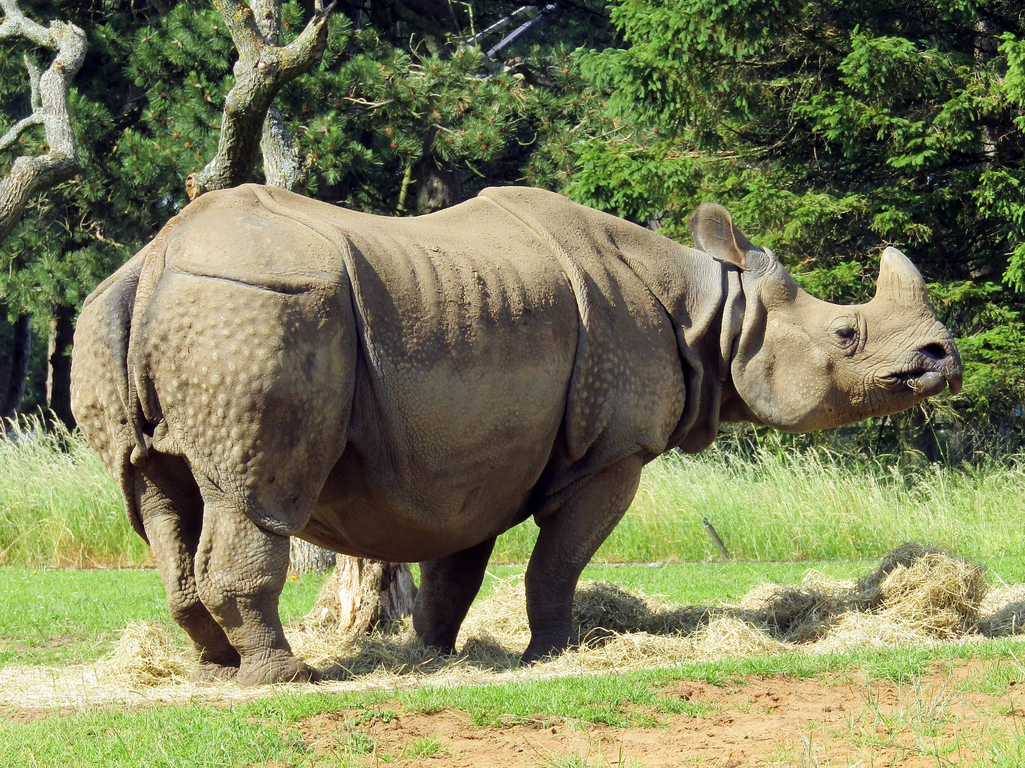 A photo of an adult greater one-horned rhino grazing at Whipsnade Zoo.