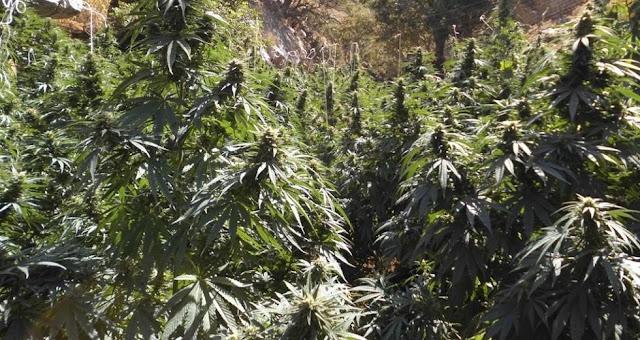 Ο καλλιεργητής μεγάλης φυτείας δενδρυλλίων κάνναβης στη Λακωνία είναι ήδη έγκλειστος των φυλακών Ναυπλίου
