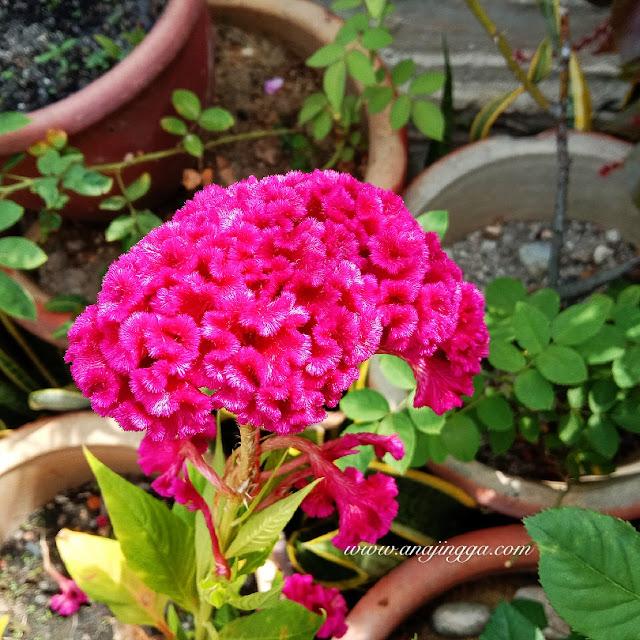 bunga bayam