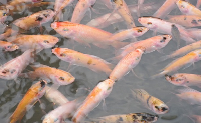 budidaya ikan nila dengan sistem bioflok