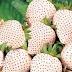 Strawberry Putih Jepang Dijual 140 Ribu Per Buah