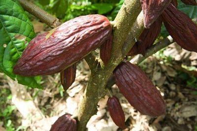 Cacao. Historia y elaboración. Planta de cacao