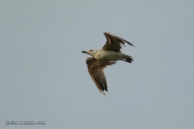 Juvenil de gavià argentat amb el plomatge malmès (Larus michaellis)