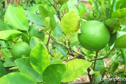 Berbagai Jenis Pohon Jeruk dan Ciri-Cirinya