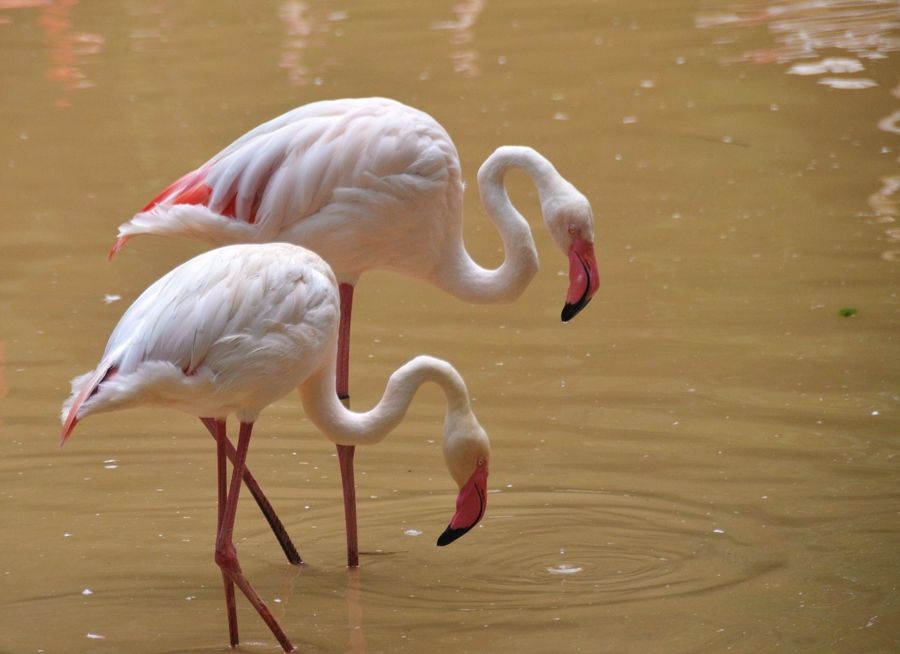 41. Flamingo twins by Vikneswaran Nair