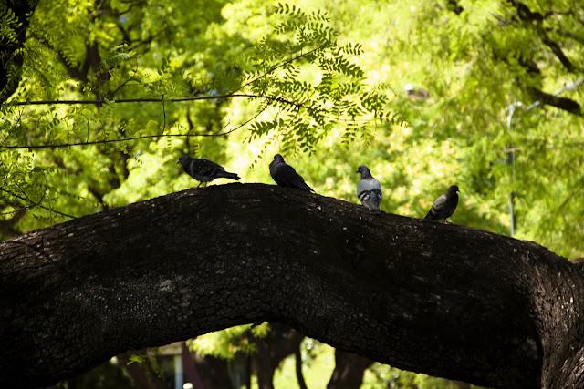 Palomas sobre rama de árbol