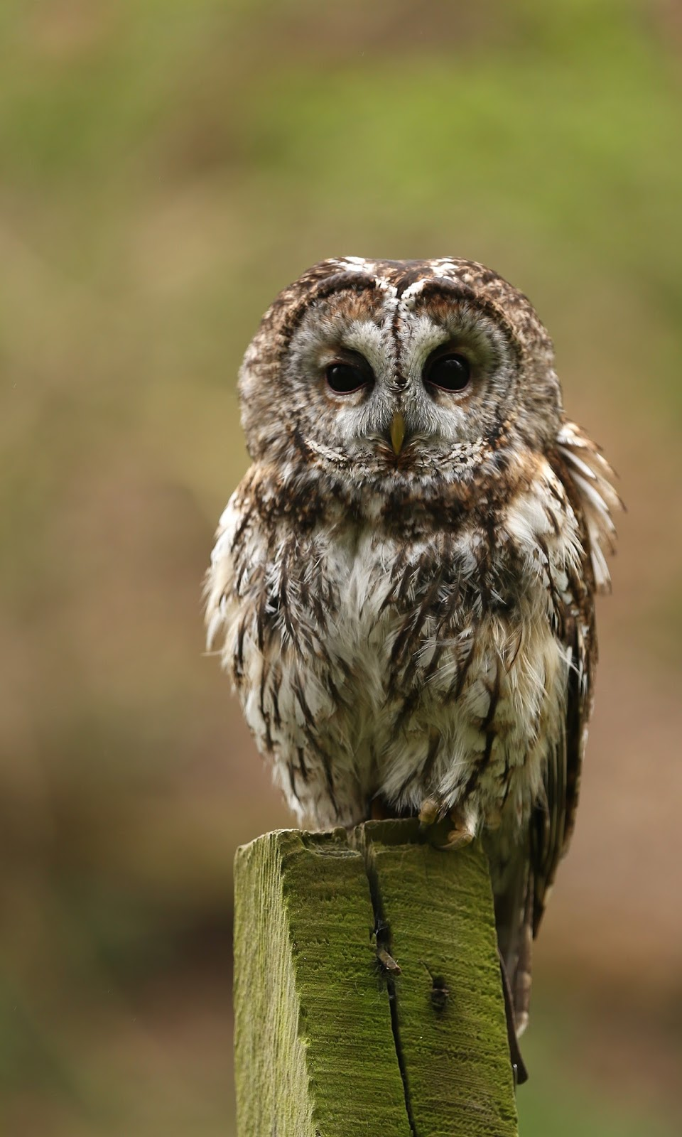TrogTrogBlog Bird Of The Week Tawny Owl