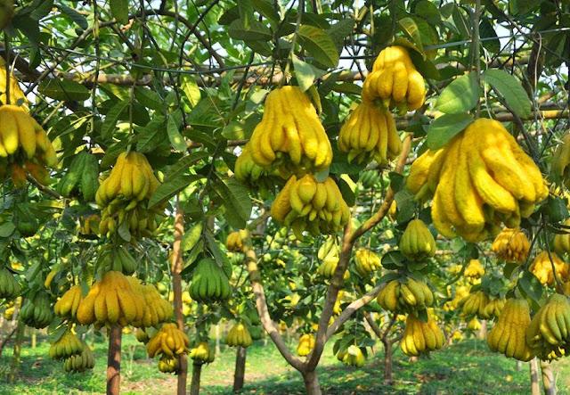 PHẬT THỦ - Citrus medica L.var. digitata Riss - Nguyên liệu làm thuốc Chữa Ho Hen