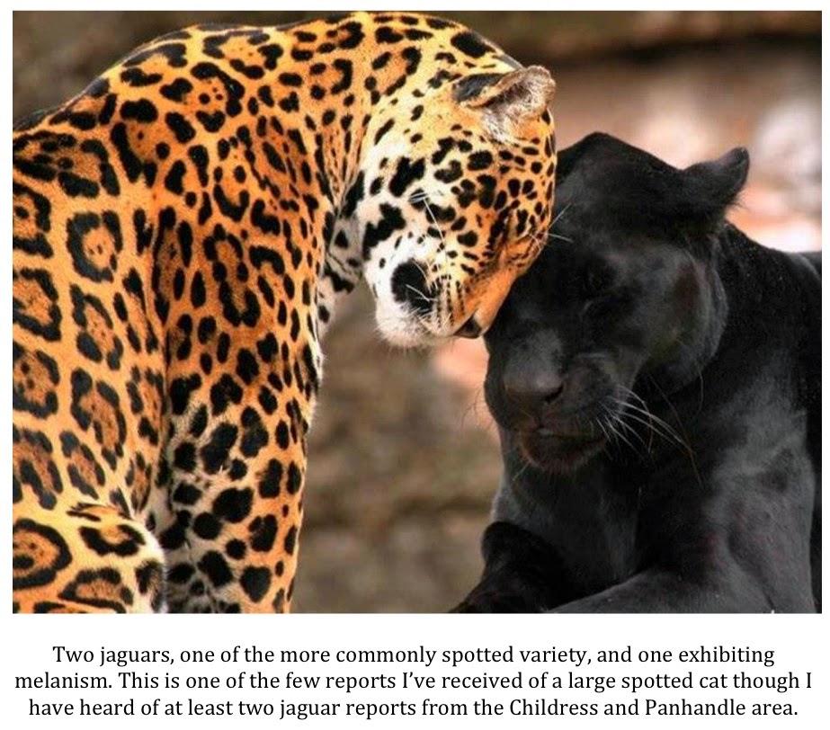 Yellow Jaguar Animal: Texas Cryptid Hunter: March 2014