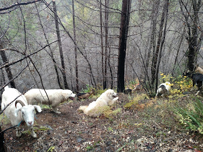 Goats on steep Klamath mountains.