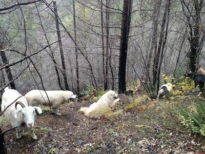 Goats on steep Klamath mountains.