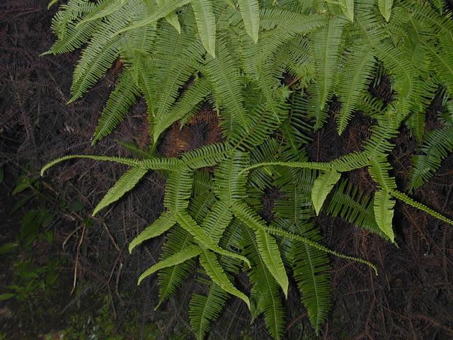 Sticherus truncatus