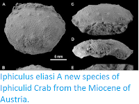 http://sciencythoughts.blogspot.co.uk/2016/12/iphiculus-eliasi-new-species-of.html