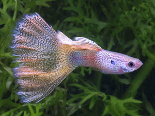 أسماك الطاووس الصينية الرائعة الجمال سبحــــــان الله image01312-736918.jp