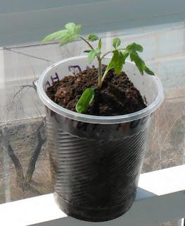 16 апреля Рассада помидоров