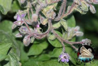 Les fleurs comestibles