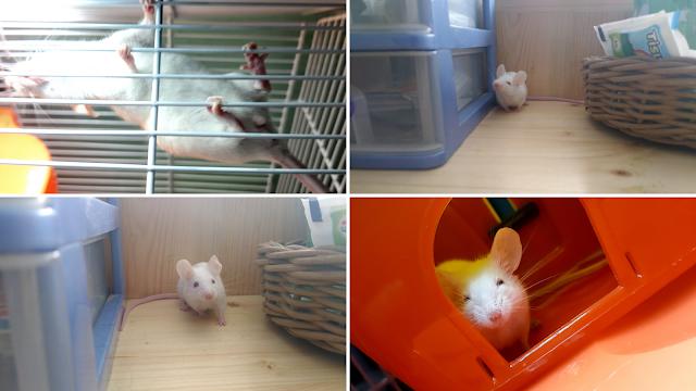 memelihara tikus putih