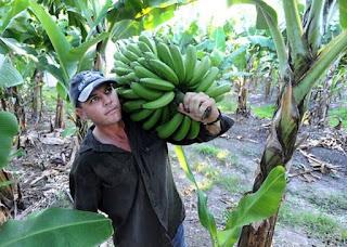 pemanenan buah pisang