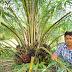 พาชม  การจัดการสวนปาล์มแปลงเล็ก ของเกษตรกร เมืองหมูย่าง