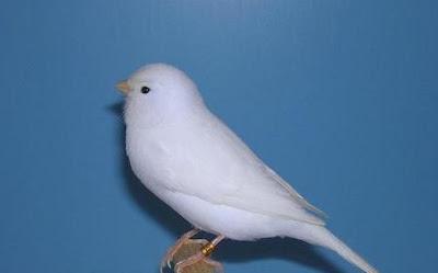 Jenis Dan Cara Merawat Burung Kenari Putih Supaya Kencang Suaranya