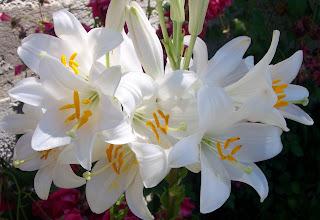 Azucenas blancas 6