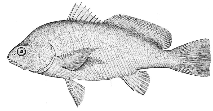 External sex of aplodinotus grunniens