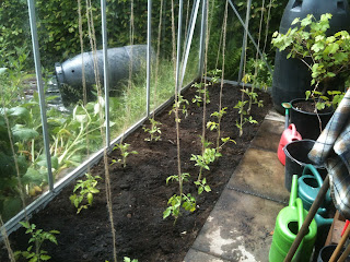 growing tomatoes, life on pig row