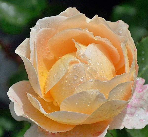 Odile Masqueliere сорт розы фото