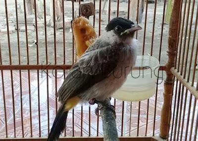 Berikut ialah bagaimana cara merawat serta meloloh anakan Burung Kutilang Cara Merawat Serta Meloloh Anakan Burung Kutilang