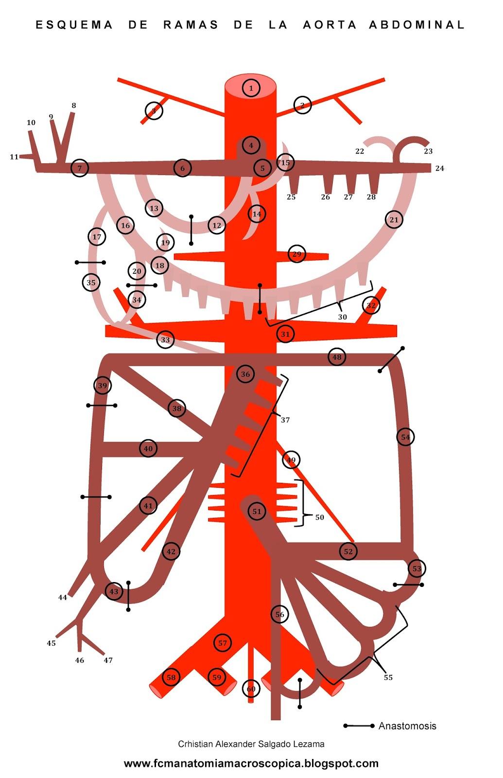 FCM-UNAH Anatomía Macroscópica: Ramas de la Aorta Abdominal