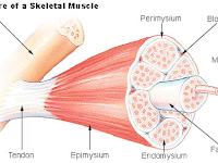 Spesifikasi dan Pengaturan OTOT RANGKA (Muscle Tissue) atau Otot Lurik