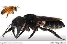 Sempat Dianggap Punah, Lebah Raksasa ini diTemukan Kembali Di Maluku Setelah 40 Tahun Menghilang