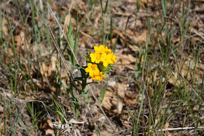 hoary puccoon in bloom, late May