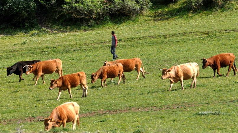 Δυσαρέσκεια των Κτηνοτροφικών Συλλόγων ΑΜ-Θ για τον αποκλεισμό των βοοτρόφων από τα κριτήρια μοριοδότησης του υπομέτρου 6.1 Νέων Γεωργών