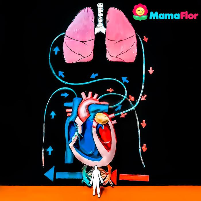 Proyecto Sistema Circulatorio para niños