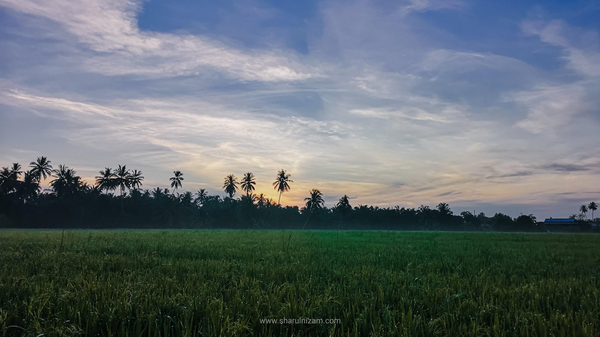 Menikmati Pemandangan Pagi Sawah Padi Di Parit Buntar, Perak