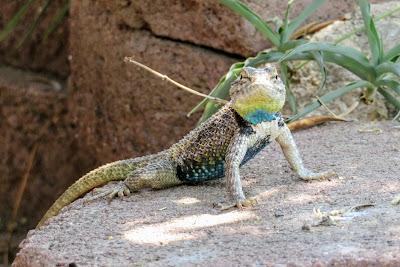 Desert Spiny Lizard (Sceloporus magister)