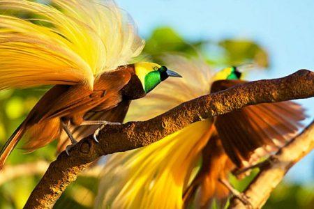 bird watching di hutan papua