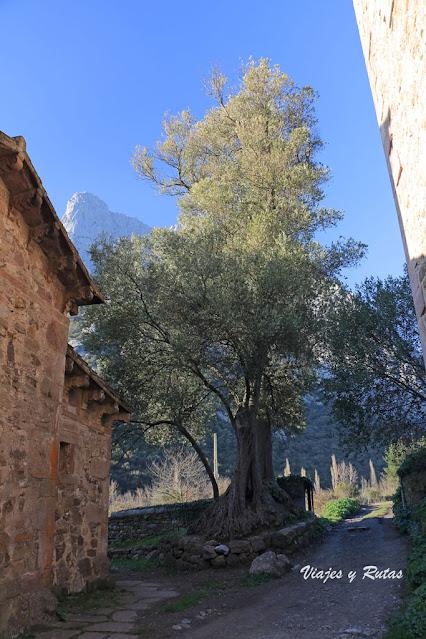 Olivo de Santa María de Lebeña