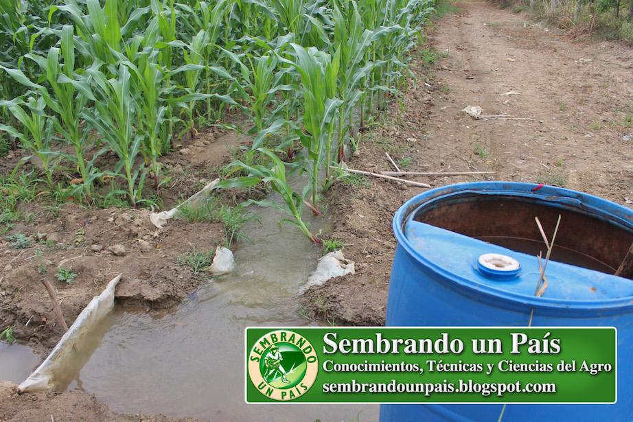 riego por inundación en siembra de maíz