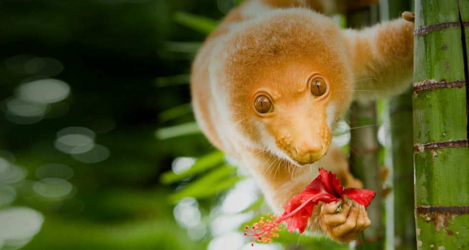 The cuddly cuscus gazing back with innocence of its enormous liquid eyes.