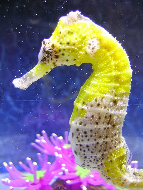 How to set up a seahorse aquarium marine depot blog for Is a seahorse a fish
