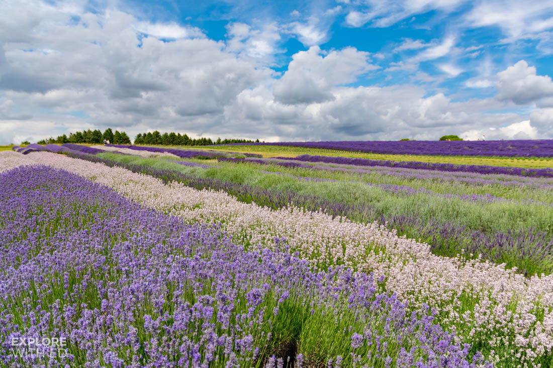 Different varieties of lavender
