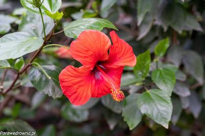 Powsin ogród botaniczny PAN rośliny kwitnące malwa