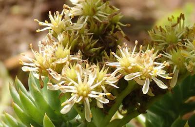 Flores blanquecinas de la uña de gato (Sedum sediforme)