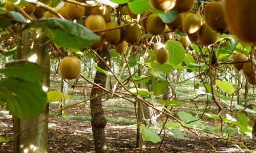Η Δ/νση Αγροτικής Οικονομίας και Κτηνιατρικής της Περιφερειακής Ενότητας Άρτας ενημερώνει όλους τους παραγωγούς ακτινιδίων καθώς και όλους όσους διακινούν καρπούς και φυτά ακτινιδιάς όπως εξαγωγείς φυτωριούχους, ομάδες παραγωγών, συνεταιρισμούς κ.λ.π. ότι στη γειτονική Αιτωλοακαρνανία εμφανίστηκε η ασθένεια «Βακτηριακό έλκος της Ακτινιδιάς» που προκαλείται από τον επιβλαβή οργανισμού καραντίνας βακτήριο Pseudomonas syringae p.v. actinidiae.