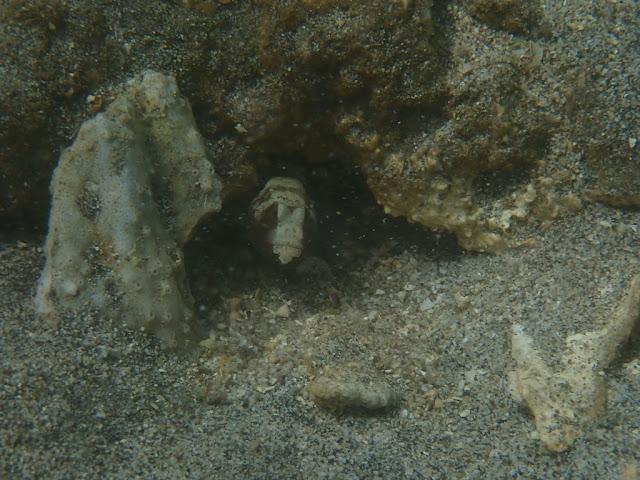 Cryptocentrus leucostictus