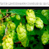 दुनिया की सबसे महंगी सब्जी – Hop Shoots Most Expensive Vegetable In The World