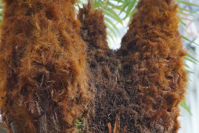 tree fern close-up of hairy trunks